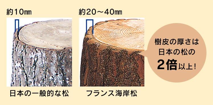 フランス海岸松の樹皮の厚さは日本の松の2倍以上!