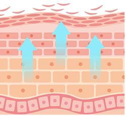 肌の代謝イメージ
